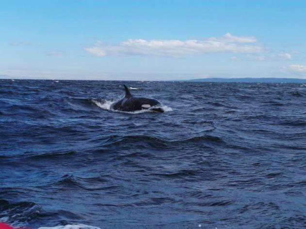 Whale-watching in Cowichan Bay!